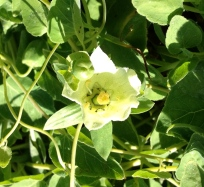 dangshen flower